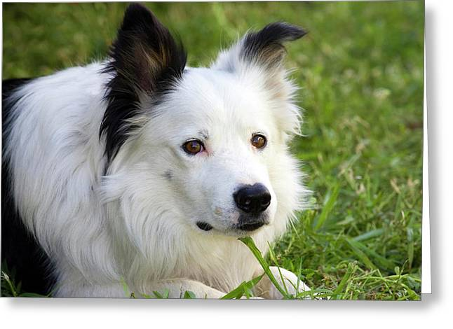 Headshot Of Purebred Border Collie Greeting Card