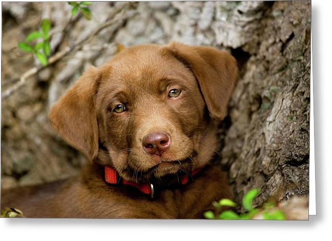Headshot Of Purebred Chocolate Labrador Greeting Card by Piperanne Worcester