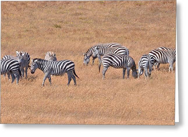 Hearst Castle Zebras Greeting Card by Lynn Bauer