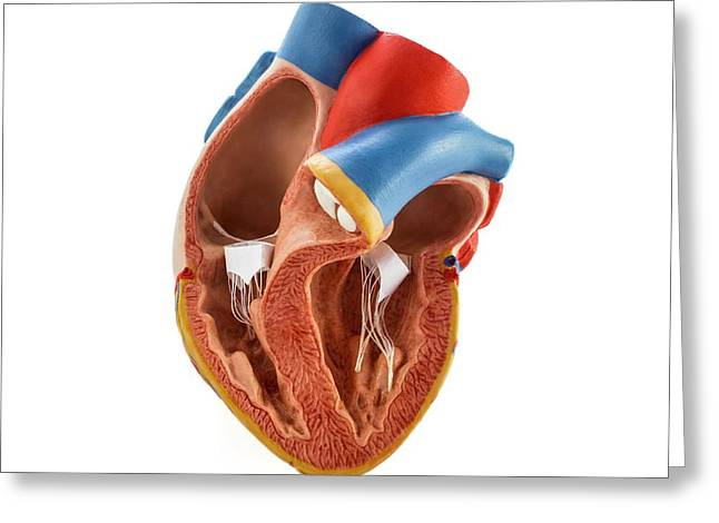 Heart Anatomy Model Greeting Card by Science Photo Library