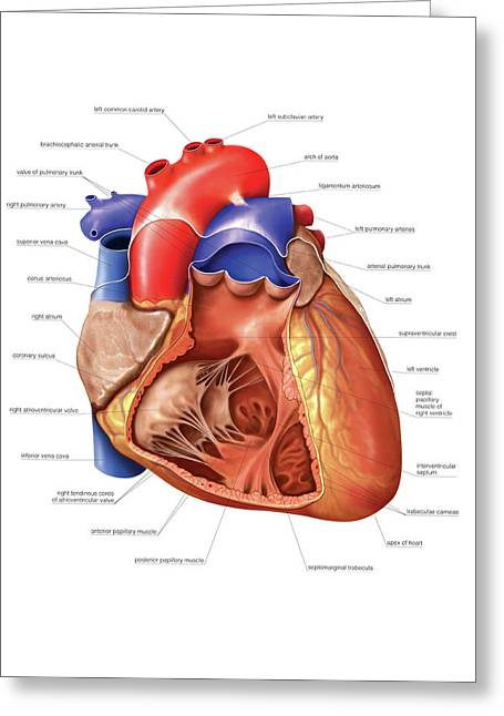 Heart And Right Ventricle Greeting Card
