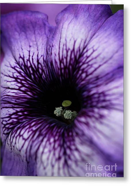 Heart Of The Purple Petunia Greeting Card