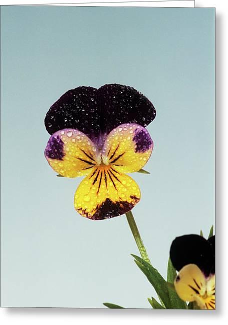 Heartsease Flower Greeting Card