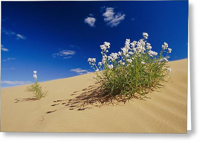Hearty Wild Stock Wildflowers Growing Greeting Card by Jason Edwards