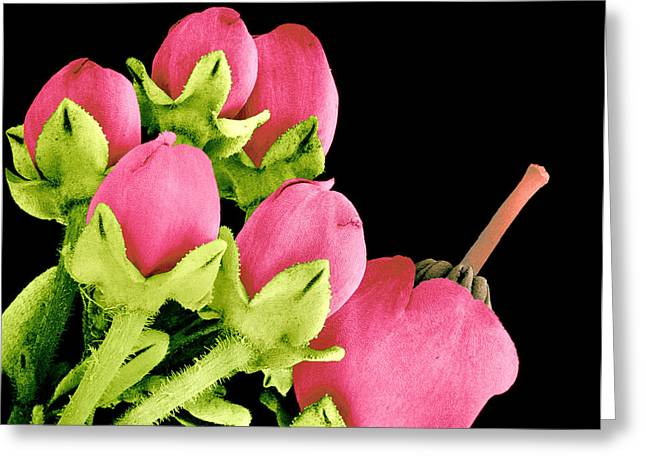 Heath Flowers Greeting Card by Susumu Nishinaga