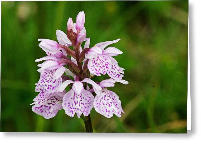 Heath Spotted Orchid Greeting Card