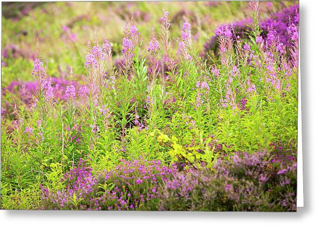 Heather And Rose Bay Willowherb Greeting Card