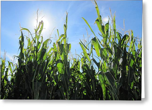 Heaven In Corn Greeting Card by Amanda Powell
