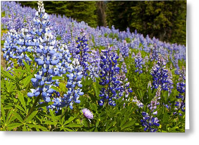 Heavenly Blue Lupins Greeting Card by Theresa Tahara