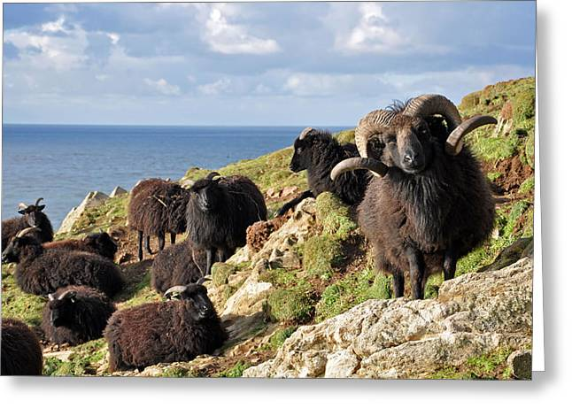 Hebridean Sheep At Baggy Point Greeting Card