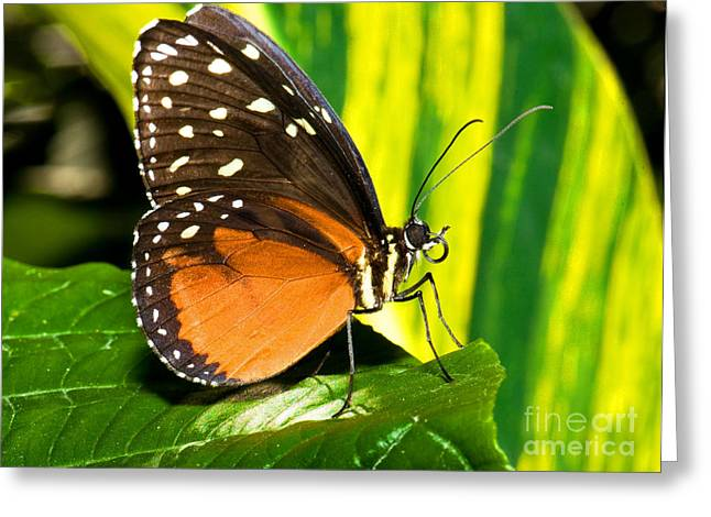 Hecale Longwing Butterfly Greeting Card by Millard H. Sharp