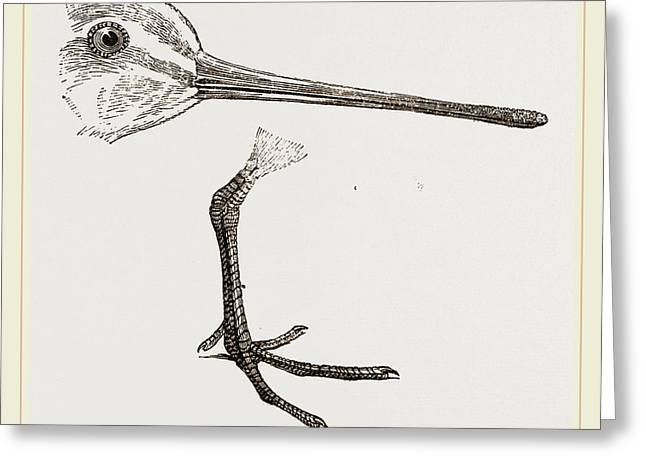 Hed And Leg Of Snipe Greeting Card by Litz Collection