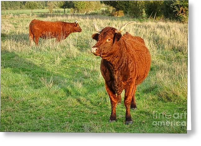 Heifer Bulls Greeting Card by Olivier Le Queinec