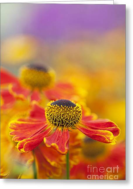 Helenium Waltraut Flowers Greeting Card by Tim Gainey