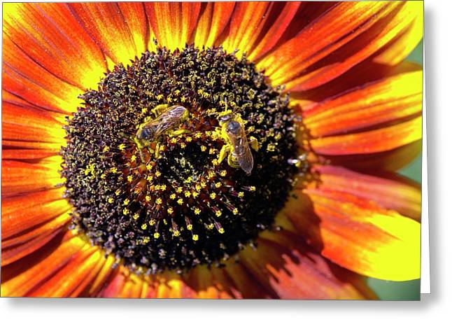 Helianthus Annuus 'solar Eclipse' Greeting Card by Brian Gadsby/science Photo Library