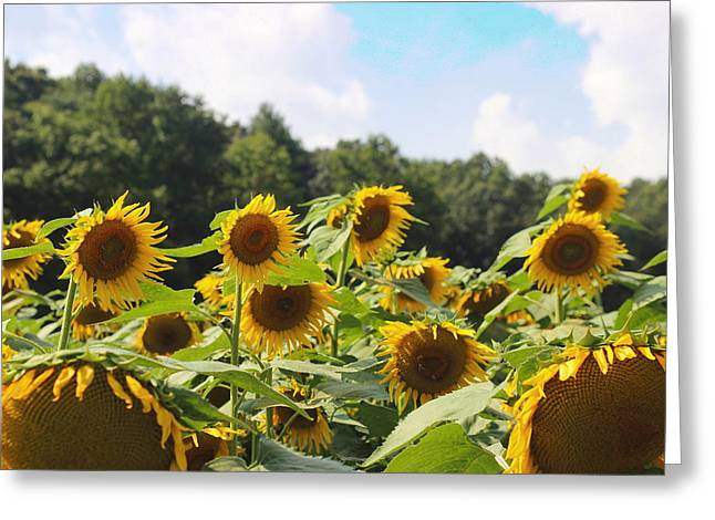 Helianthus Patch 4 Greeting Card