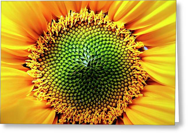 Helianthus Sunflower Greeting Card