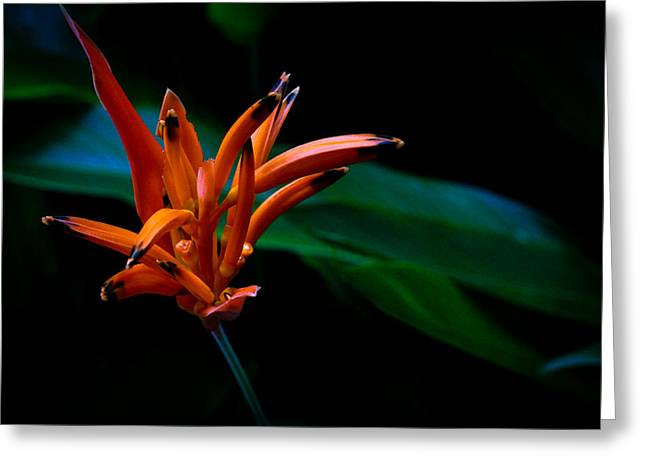 Heliconia Psittacorum Andromeda Greeting Card by Donald Chen