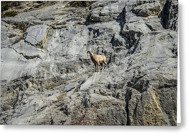 Big Horn Sheep Coming Down The Mountain  Greeting Card