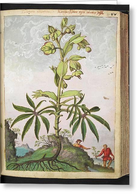 Hellebore (helleborus Sp.) Greeting Card by British Library