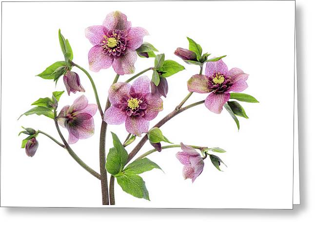 Hellebore Tutu Greeting Card by Jacky Parker
