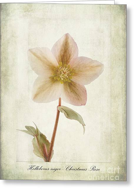 Helleborus Niger Greeting Card by John Edwards