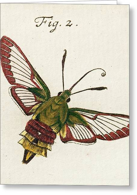 Hemaris Hawk-moth Greeting Card