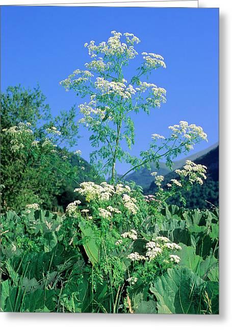 Hemlock (conium Maculatum) Greeting Card
