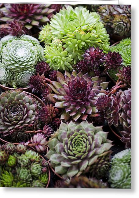 Hen And Chicks Greeting Card by Heather Applegate