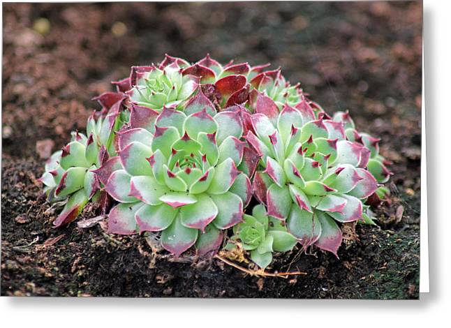 Hen And Chicks Greeting Card