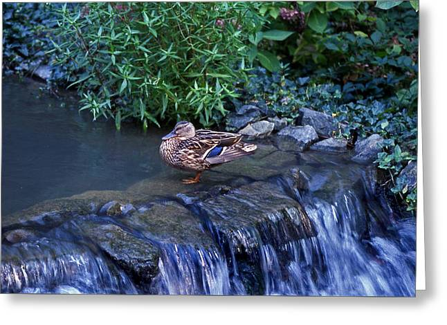 Hen Fall Greeting Card by Skip Willits