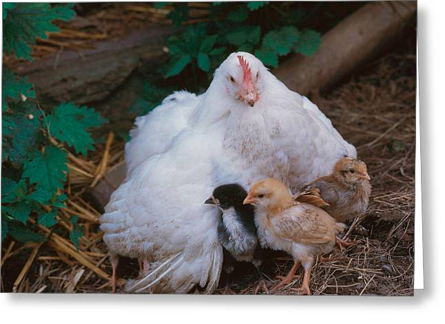 Hen With Chicks Greeting Card by Hans Reinhard