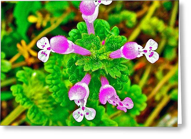 Henbit At Chickasaw Village Site At Mile 262 Of Natchez Trace Parkway-mississippi Greeting Card