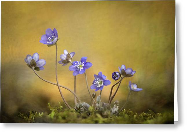 Hepatica Nobilis Flower Greeting Card