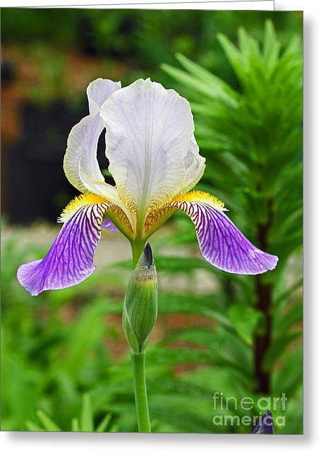 Greeting Card featuring the photograph Her Majesty Iris  by Steve Augustin