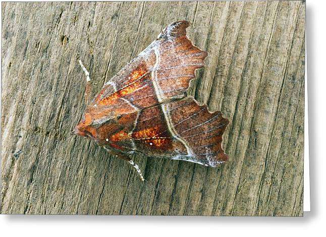 Herald Moth Greeting Card by David Aubrey