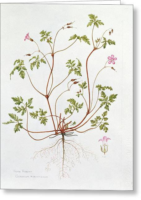 Herb Robert Greeting Card by Diana Everett