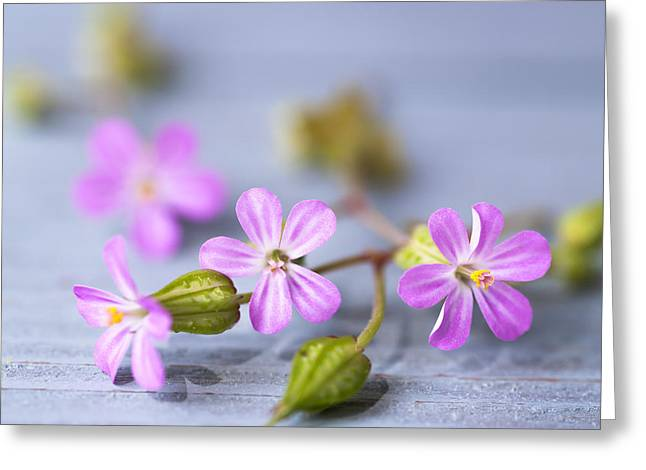 Herb Robert Greeting Card
