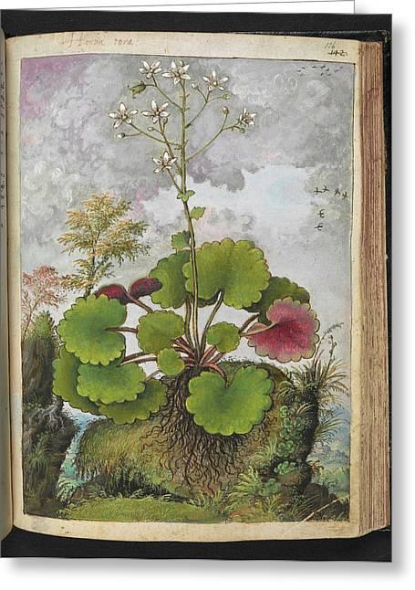 Herba Tora Plant Greeting Card