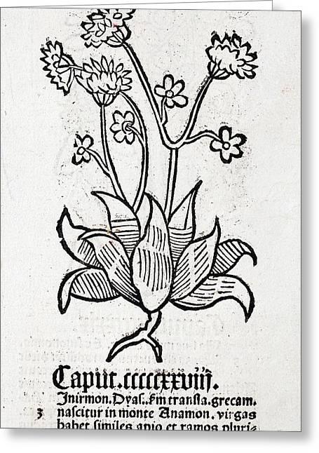 Herbal Plant Greeting Card by Paul D Stewart