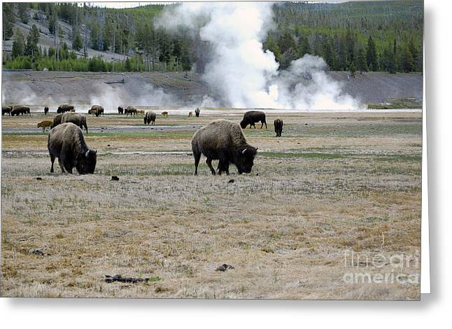 Herd Of Bison Grazing In Front Of Steam Vents Yellowstone National Park Greeting Card