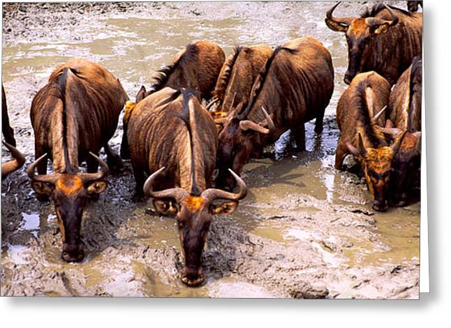 Herd Of Blue Wildebeests Connochaetes Greeting Card by Panoramic Images