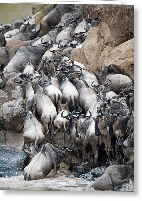 Herd Of Wildebeests Crossing A River Greeting Card by Panoramic Images