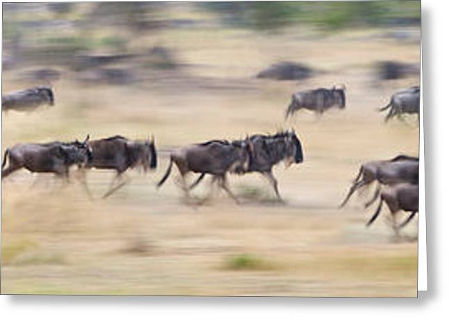 Herd Of Wildebeests Running In A Field Greeting Card by Panoramic Images