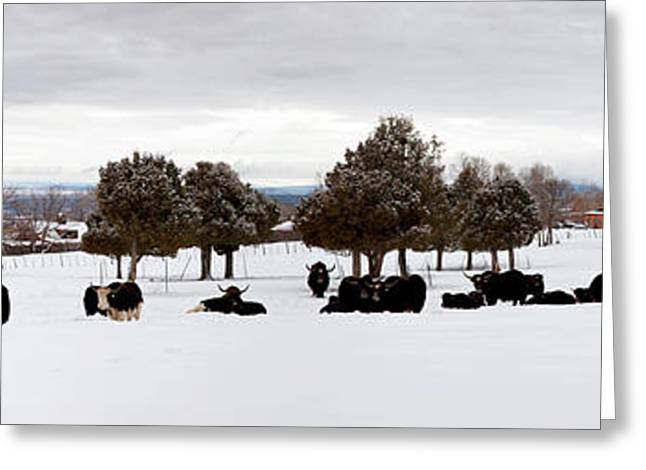 Herd Of Yaks Bos Grunniens On Snow Greeting Card by Panoramic Images