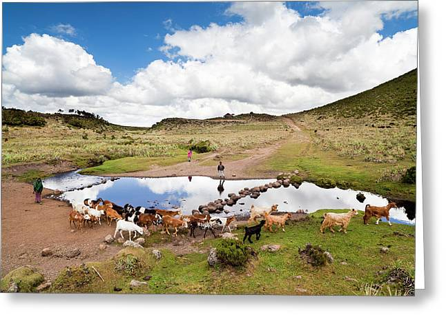 Herd Tended By Oromo Children Greeting Card by Martin Zwick