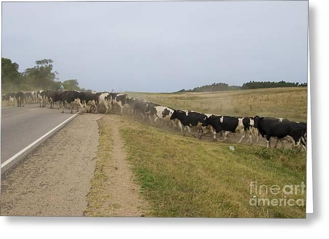 Herding Cows In Uruguay Greeting Card