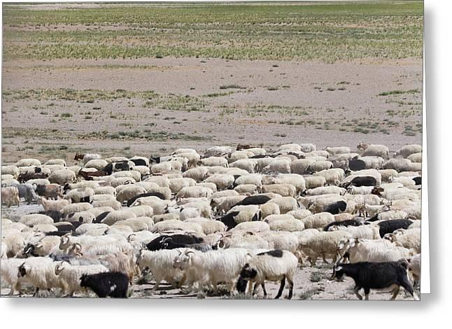 Herding Sheep In The Himalayas Greeting Card