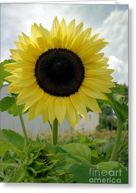 Here Comes The Sun...flower. Greeting Card