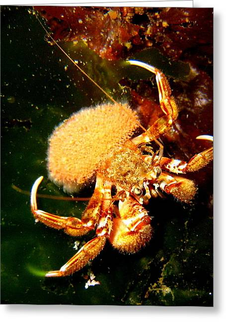 Hermit Crab Greeting Card by April Muilenburg